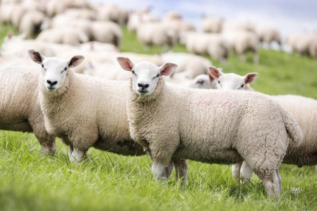 Texel cross lambs outperformed the progeny of other high index ram breeds