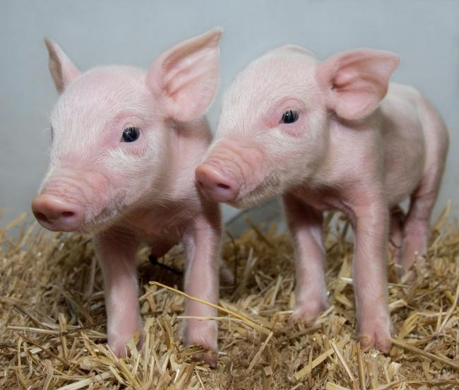 Gene edited pigs have shown signs of resistance to porcine reproductive and respiratory syndrome (Photo: Laura Dow)