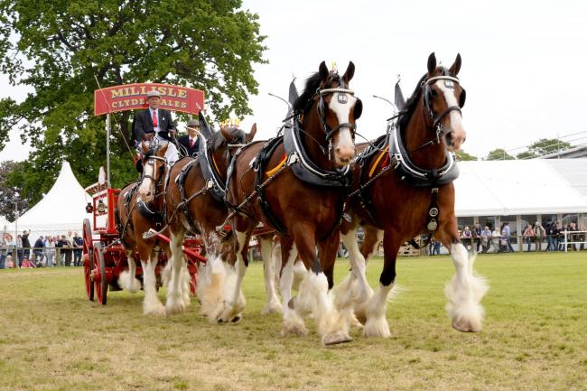Hugh Ramsay, Millisle Clydesdales took the overall title in the heavy horse turnouts with his team of six Ref: KC230619013