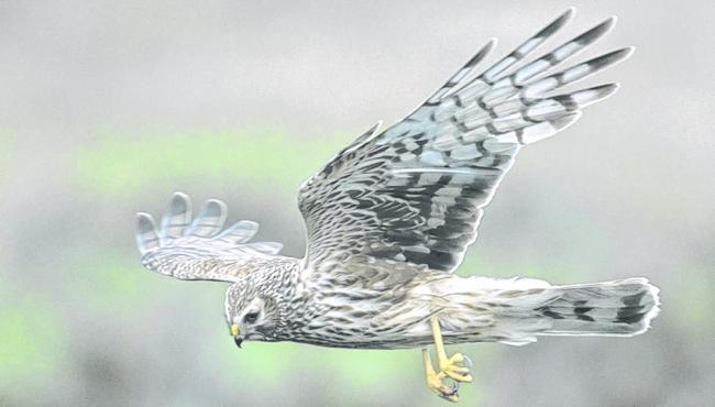 Scottish Land and Estates has issued their concern over recent incidents involving birds of prey (Photo: RSPB Images)