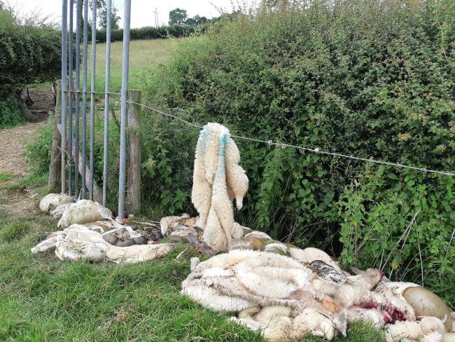 REMNANTS of a field slaughter raid – farmer Phil Neal shared this graphic image on Park End Farming's Facebook page