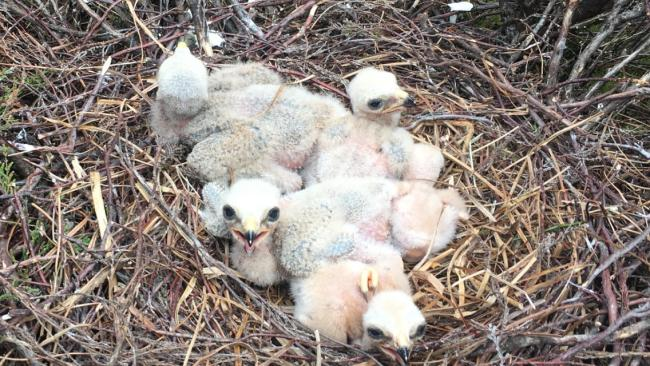 A nest of Hen Harrier chicks driver on a grouse moor in Yorkshire