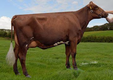 Champion winner from the Strickley herd