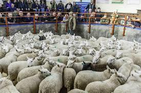 Store lamb sales for the week