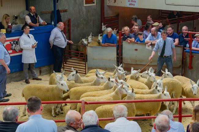 First prize pen of Cheviot Mule Gimmers at Longtown sold for £220 per head from Robert and Hazel McNee Over Finlarg