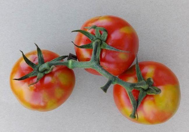 Symptoms of tomato brown rugose fruit virus on tomato, one of the high priority pest and diseases identified by AHDB for the research call (Photo: Dr Wulf Menzel)