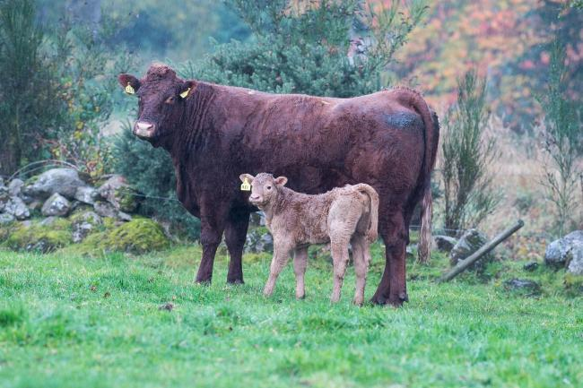 Cows with calves are at increased risk of summer mastitis Ref:RH111018081    Rob Haining / The Scottish Farmer