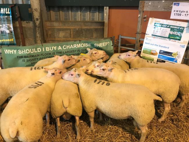 Bramain Charmoise tups sold at previous sales