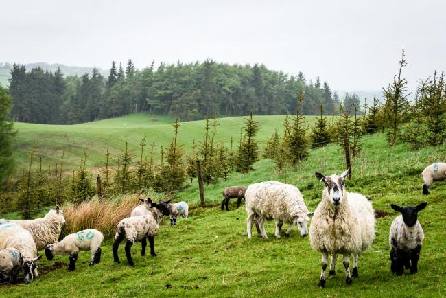 Sheep and trees, side by side
