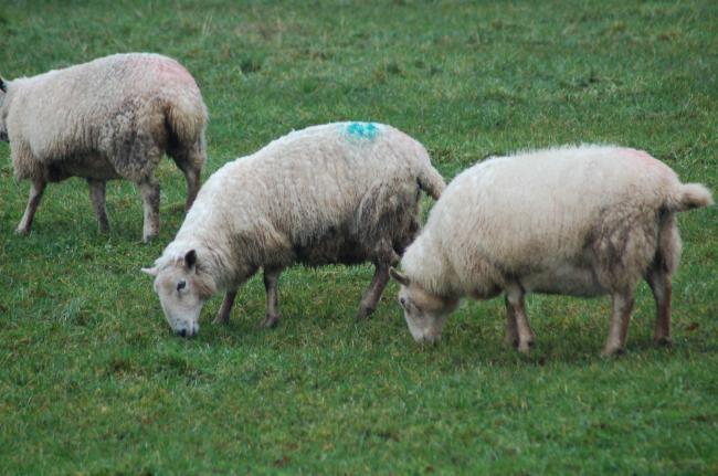 Supplement with trace elements at tupping to avoid risks of deficiencies in grass