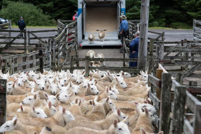 lamb prices are holding up well