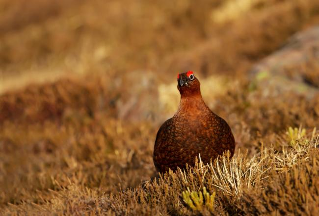Research reveals grouse moor management to offer significant conservation benefits