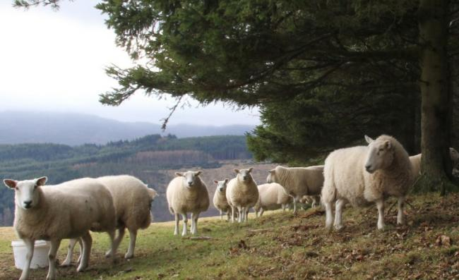 One FGS option is the sheep and trees scheme, which is designed for upland livestock farmers who are interested in planting between 10 and 50 ha of productive conifer woodlands