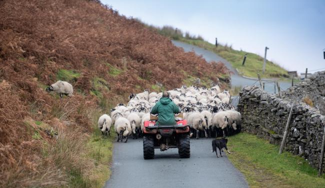 Chris Rukin, of West Stonesdale, turning Swaledale ewes out to the top pastures after dipping and tailing in preparation for tupping (Pic: Wayne Hutchinson)
