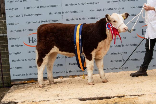 Hereford champion  Hollyvale 1 Gracious 3rd from A and P Massey  Ref:RH011119169  Rob Haining / The Scottish Farmer..
