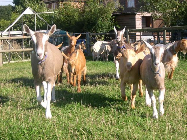 Healthy goats!