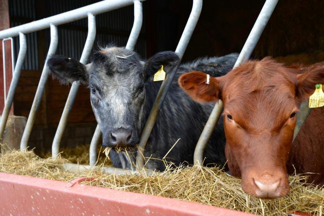 Bought-in calves are more at risk of disease