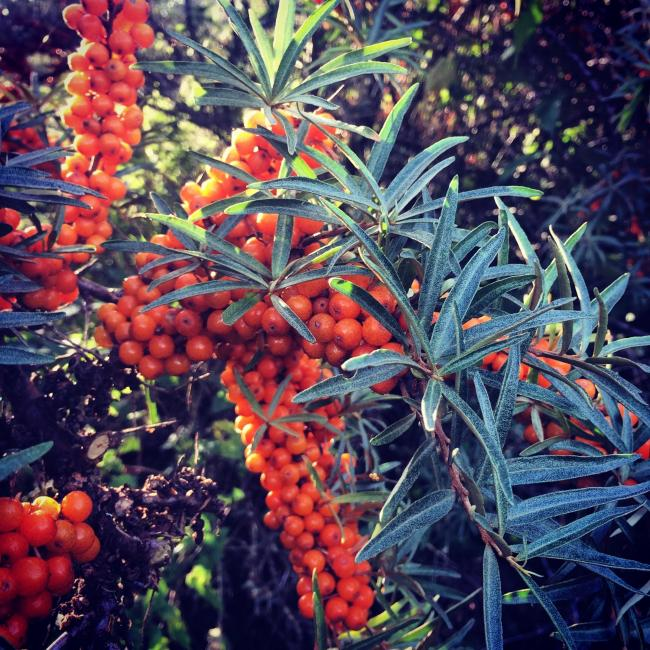 Sea buckthorn berries - not easy to pick