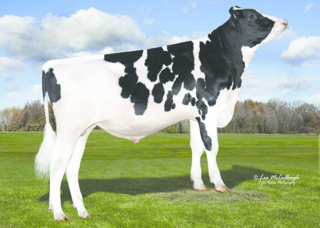 Stantons Most Wanted  - new No 1 sire on the Spring Calving Index