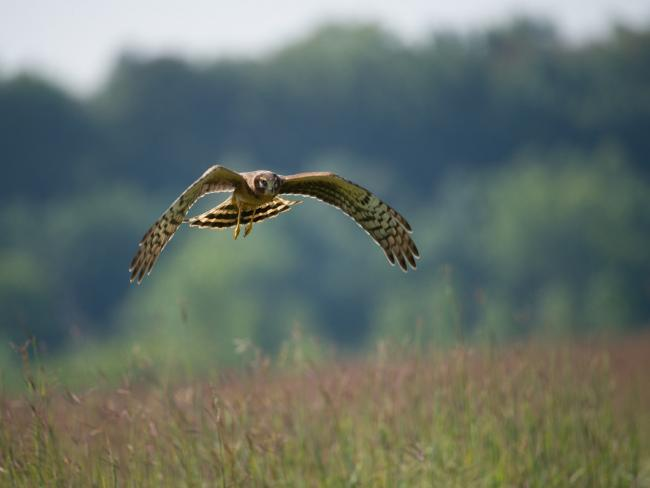Hen harrier appeal by RSPB has raised suspicions over its timing (Pic: Skeeze/Pixabay)