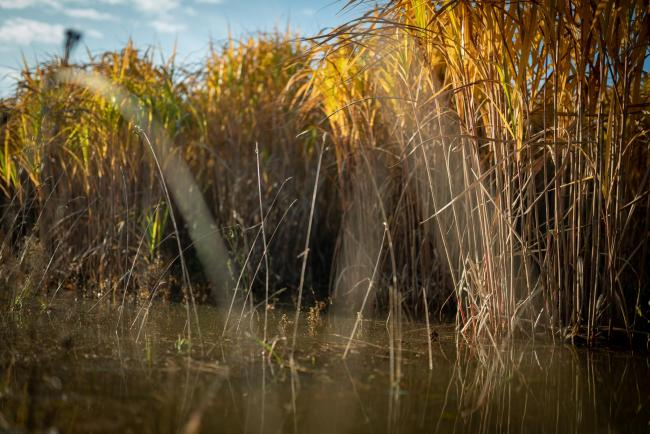 Miscanthus on waterlogged land