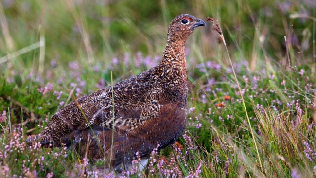 Grouse moors braced for major changes in wake of Werritty review (Dpexel from Pixabay)