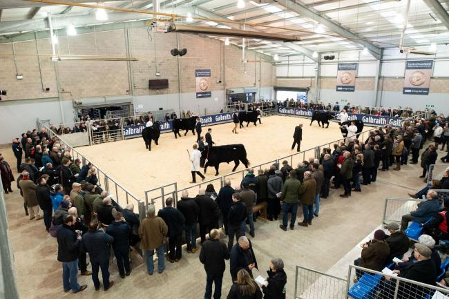 Stirling was the place to be for the judging of the Aberdeen Angus pre-sale show  Ref:RH020220299  Rob Haining / The Scottish Farmer...