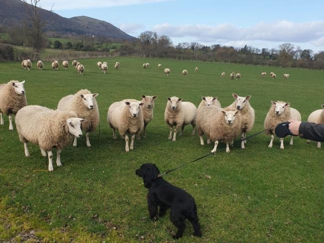 FACE OFF - a dog on a lead meets some sheep
