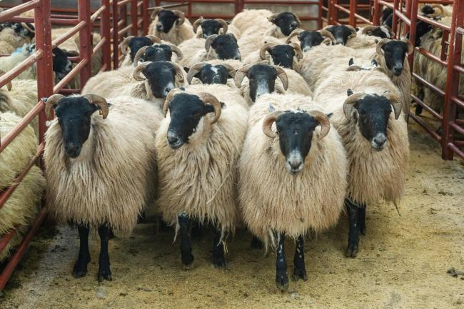 Champion pen of Blackface lambs from J Jardine, Yett, weighed 54kg and sold for £125 per head