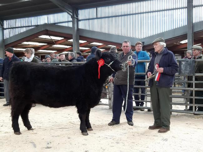Champion Galloway female