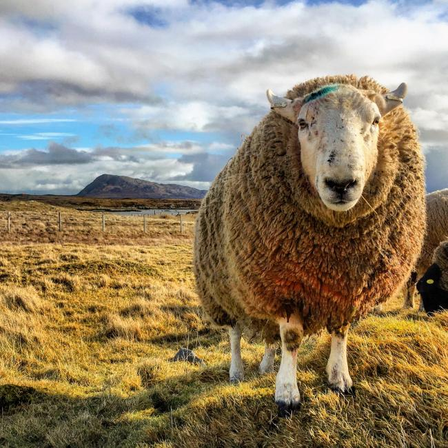 One of Templeside's North Country Cheviot tups
