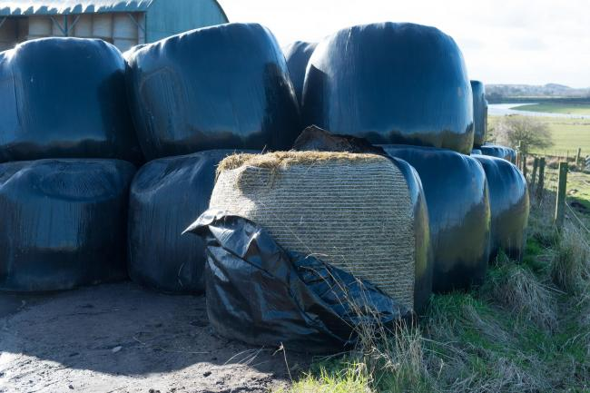 Molasses can help improve the digestibility of high fibre silages