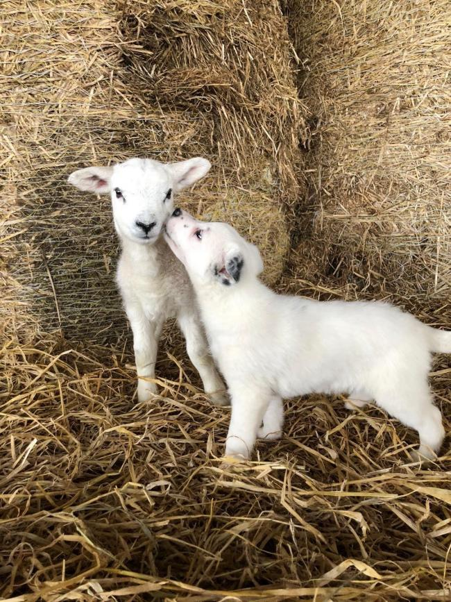 A rare almost white border collie pup playing a game of spot the difference with one of the lambs at Golland Farm, Kinross