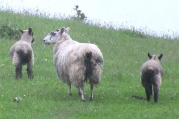 Dirty tailed sheep attract greenfly and are therefore more prone to fly strike