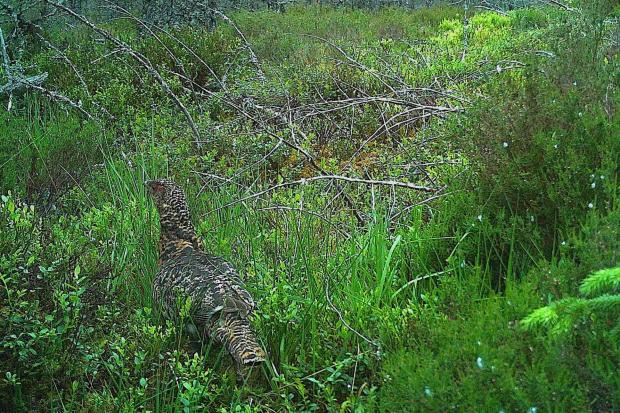 Female Capercaillie returning to nest captured on trail camera