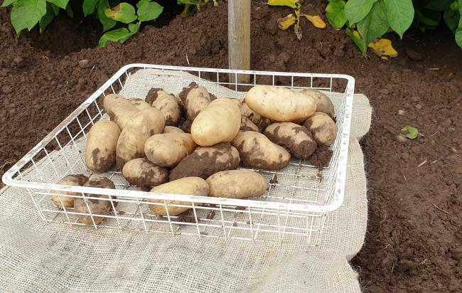 Scottish potato growers could face stiff competition from surplus stock from processors during the current crisis