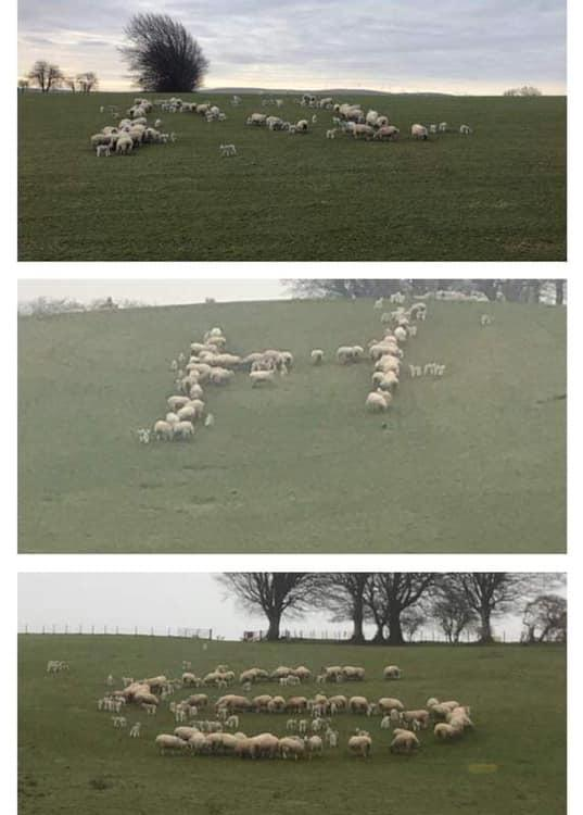 Alan Neilson from Strathaven decided instead of clapping he would get his sheep to spell out NHS in a special tribute to the frontline health workers