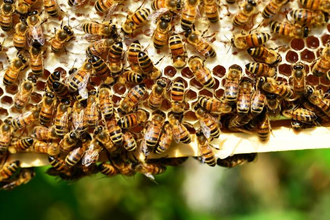 An outbreak of American Foulbrood has been found in an apiary near Blairgowrie (PollyDot from Pixabay)