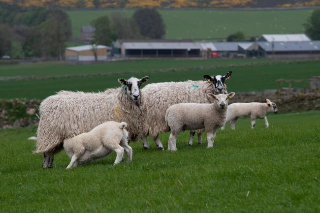 Breeding sheep sold well through United Auctions' Stirling
