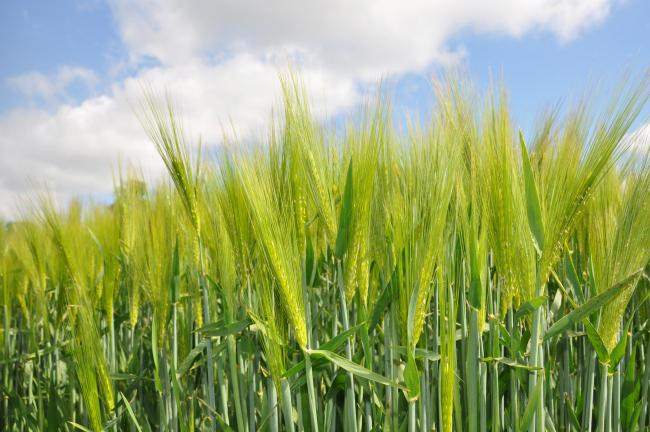 The hybrid winter barley, Kingsbarn SY, will be launched by Syngenta at Cereals LIVE