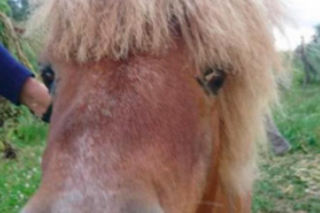 PEPPER the Shetland pony, as pictured on its owner's social media
