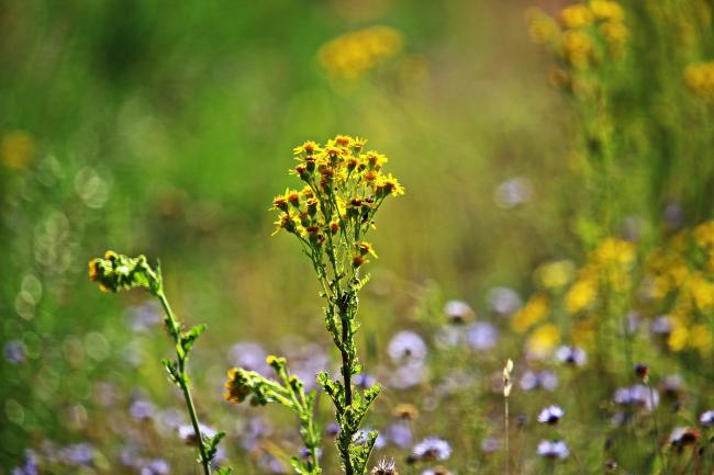 Horse owners reminded of risks posed by Ragwort
