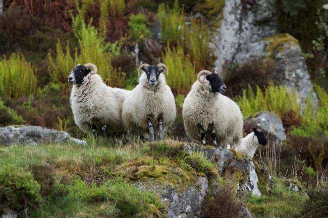 Blackface ewes and a lamb, belonging to Forter Farm, on Mount Blair Hill in Glenisla (Pic: Marlyn McInnes)