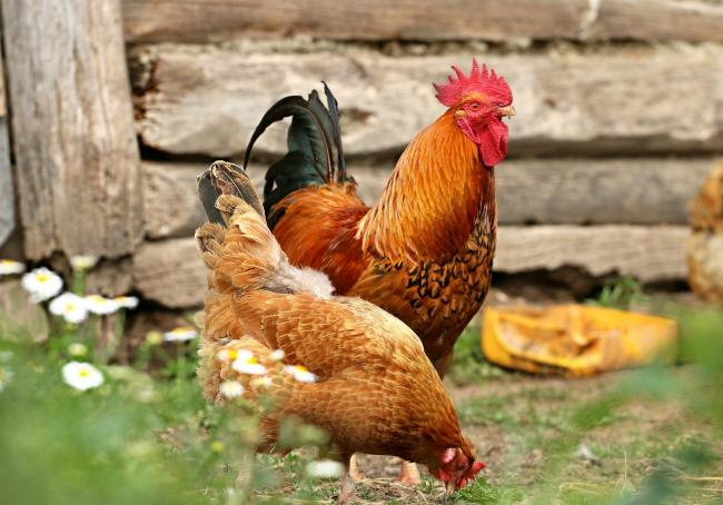 A red mite treatment has been launched for backyard poultry