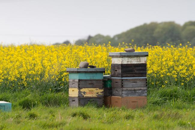 Bee Hives on the edge of a oil seed rape crop  Ref:RH2205200051  Rob Haining / The Scottish Farmer