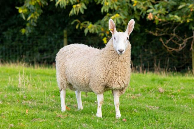 Border Leicester sheep are on the Rare Breeds Survival Trust watchlist (Pic: Ellie Breach)