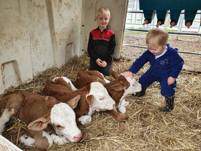Jay and Zak Johnston, from Newtownbutler, Co Fermanagh, with their second set of Fleckvieh triplets this year (Pic: Davy Johnston)