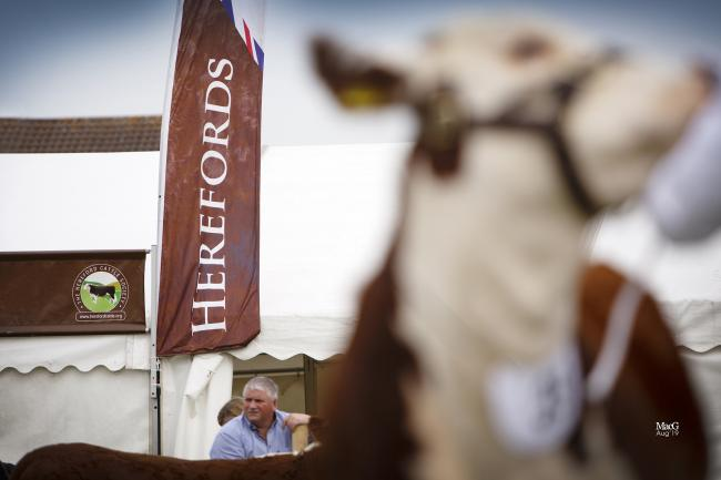 You can help choose the Hereford National Show champion on line