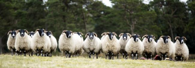 Breeding sheep trade hits high