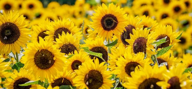 There's no stopping Jim Goldie and his sunflowers (Pixabay)